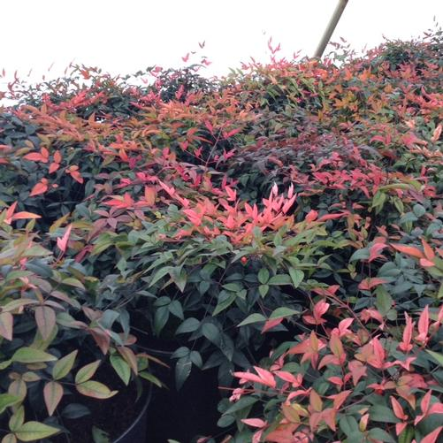 Nandina domestica Harbor Belle