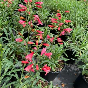 Penstemon Delft Red Riding Hood