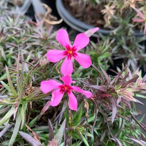 Phlox subulata Red Wings