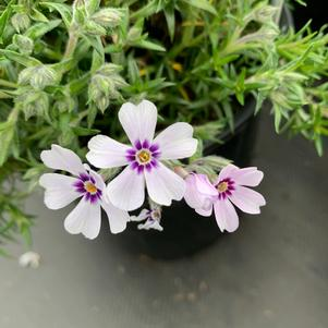 Phlox subulata North Hills