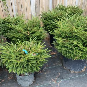 Picea orientalis Shadows Broom
