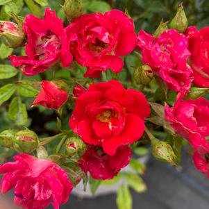 Rosa Drift® Red (PP17877)