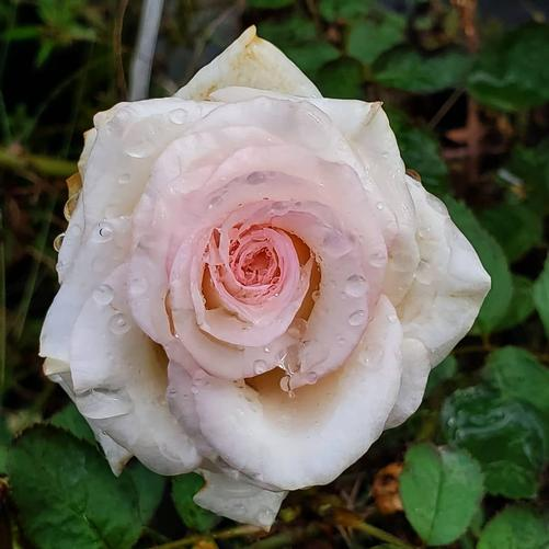 Rosa Mother of Pearl®(PP18707)