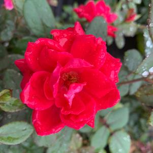 Rosa Knockout® Double Red(PP18507)