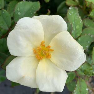 Rosa Knockout® White(PP20273)