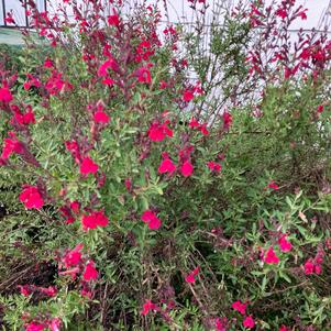 Salvia greggii Furman's Red