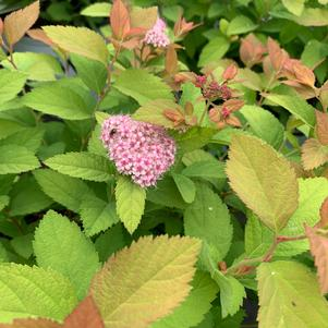 Spiraea Double Play Big Bang® (PP21588)