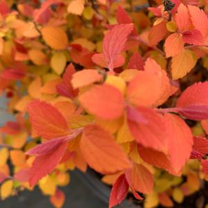 Spiraea Double Play Candy Corn®(PP28313)