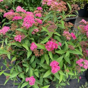Spirea japonica Neon Flash
