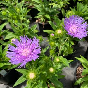 Stokesia laevis Peachies Pick