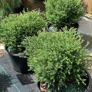 Thuja occidentalis Mr. Bowling Ball
