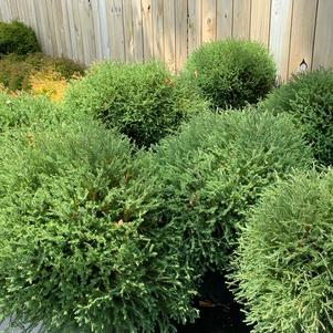 Thuja occidentalis Pancake™ (PP24013)
