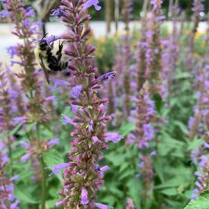 Agastache Purple Haze