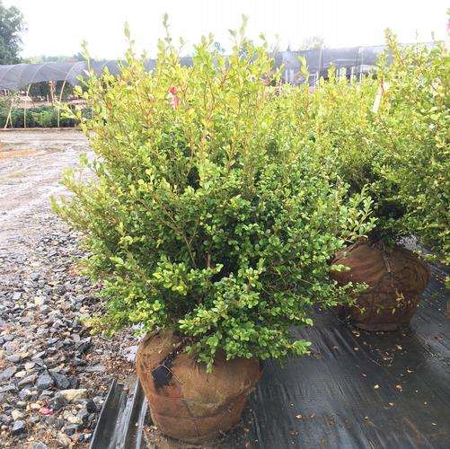Buxus microphylla var. japonica Wintergreen