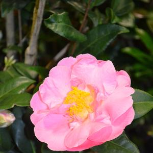 Camellia japonica Pink Icicle