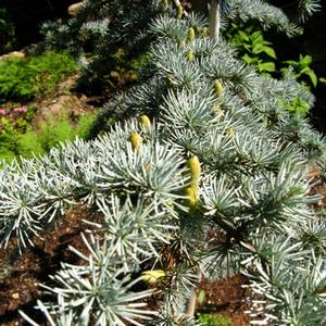 Cedrus atlantica Glauca Group