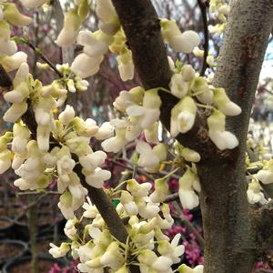 Cercis canadensis Royal White