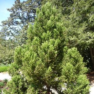 Cryptomeria japonica Black Dragon