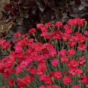Dianthus Frosty Fire