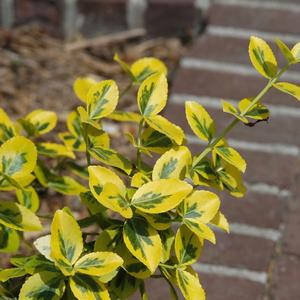 Euonymus fortunei Emerald n' Gold