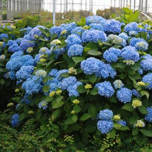Hydrangea macrophylla Endless Summer®The Original