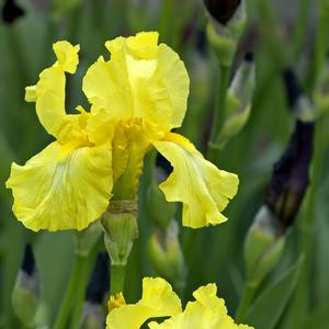 Iris germanica Harvest Of Memories
