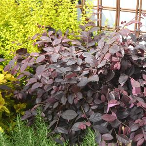 Loropetalum chinense Purple Diamond®(PP18331)