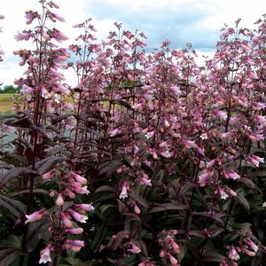 Penstemon Dark Towers