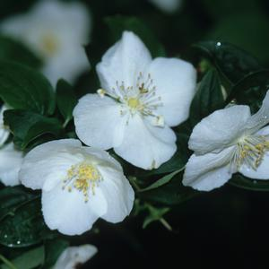 Philadelphus x virginalis Natchez