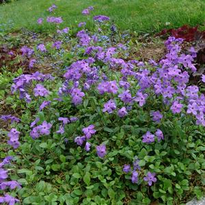 Phlox stolonifera Sherwood Purple