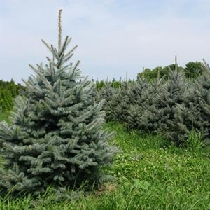 Picea pungens Fat Albert