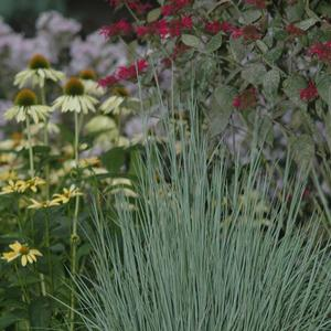 Schizachyrium scoparium The Blues