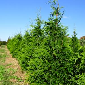 Thuja plicata Green Giant