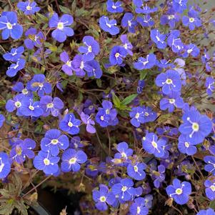 Veronica peduncularis Georgia Blue