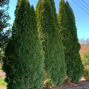 Thuja occidentalis Emerald Green