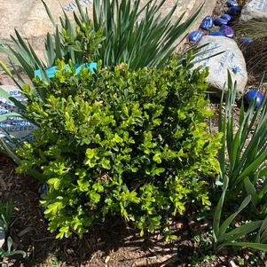 Buxus NewGen Independence