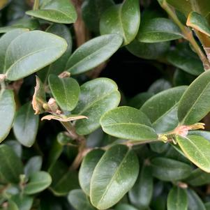 Buxus sempervirens Piney Mountain™