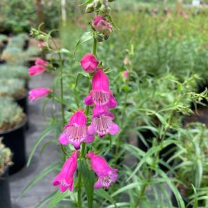 Penstemon mexicali Red Rocks