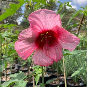 Hibiscus moscheutos Lady Baltimore