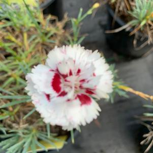 Dianthus Coconut Surprise