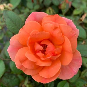 Rosa Knockout® Coral (PP19803)