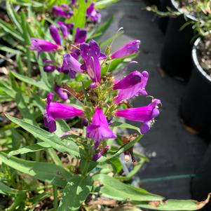 Penstemon Rock Candy Blue