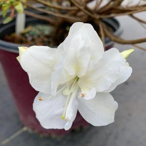 Azalea-Rhododendron Encore Moonlight™