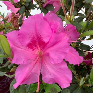 Azalea-Rhododendron Encore®Autumn Royalty®PP10580