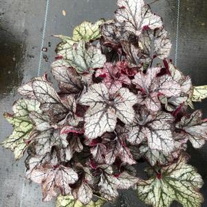 Heuchera Plum Crazy