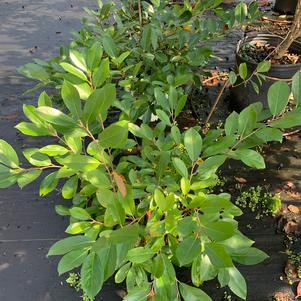 Aronia melanocarpa Ground Hug (pp31821)