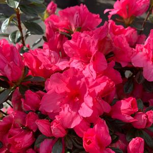 Azalea-Rhododendron Gee Gee