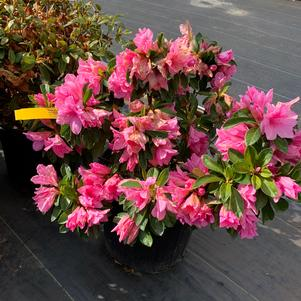 Azalea-Rhododendron Rutherfordiana hybrid Pink Ruffles