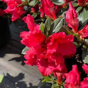Azalea-Rhododendron Rutherfordiana hybrid Red Ruffles