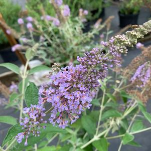 Buddleia Lochinch